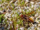 pic of hornets  - Big danger hornet flew to the pavement - JPG
