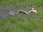 stock photo of garden snake  - Small worm snake wrapped around rake tines - JPG