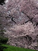 stock photo of cherry trees  - flowering cherry tree - JPG