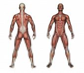 picture of male body anatomy  - Human Anatomy  - JPG