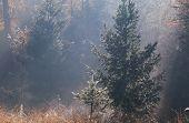 foto of coniferous forest  - gold sunbeams in autumn coniferous forest - JPG