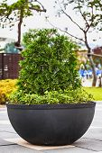 picture of bonsai tree  - Green bonsai pine tree or asian ornamental or decorative plant in black ceramic pot - JPG