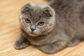 image of scottish-fold  - Portrait of a scottish fold breed blue cat - JPG