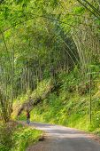 foto of bamboo forest  - One backpacker walking through a beautiful bamboo forest in morning sunlight on single lane country road. South Sulawesi Indonesia.