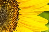 picture of bumble bee  - Sunflowers with Bumble Bee collecting nectar and pollen of flowers mixed - JPG