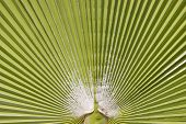stock photo of washingtonia  - Ribbed bright green leaf  of  Washingtonia palm - JPG