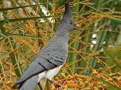 stock photo of ethiopia  - White bellied Go away bird - JPG