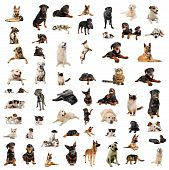 pic of doberman pinscher  - purebred dogs puppies and cats on a white background - JPG
