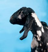 pic of nubian  - Black white and red Nubian lamb on blue background - JPG