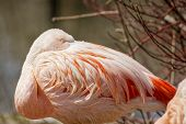foto of pink flamingos  - Picture of the wild Chilean Pink Flamingo - JPG