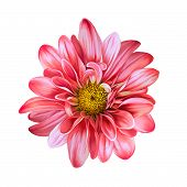 picture of daisy flower  - Mona Lisa flower - JPG