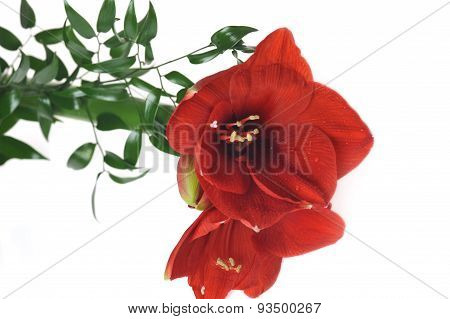 Bouquet From Red Amaryllis