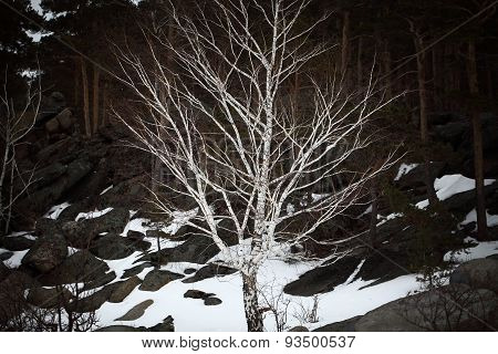 Bare Birch On A Hillside In The Pine Forest