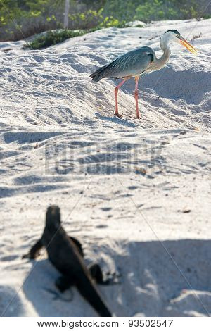 Great Blue Heron And Iguana