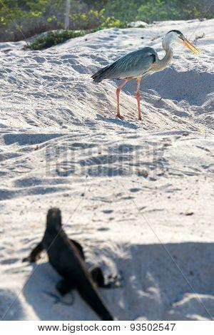 Great Blue Heron And Iguana
