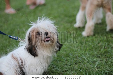 Funny Dog In Grass Field Public Park, Shih Tzu
