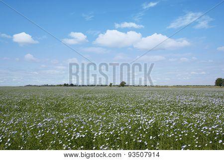 Blooming Blue Flax In A Farm Field