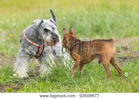 Brown Dwarf Pinsche And Little Schnauzer
