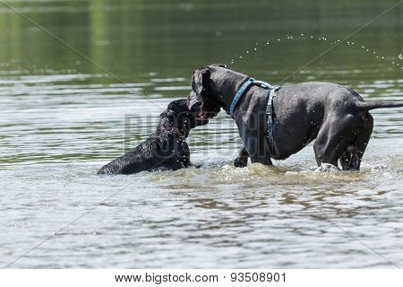 Black Great Dogs Are Playing In The Water
