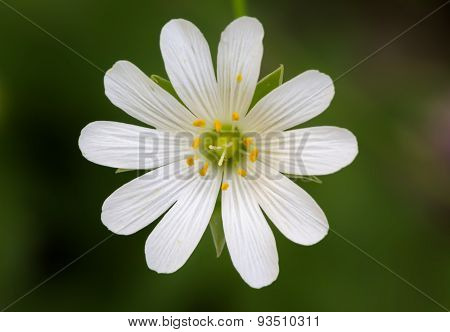 Close Up Of A Stellaria With Green Background