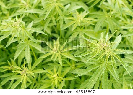 Green Hemp Plant Growing Wild