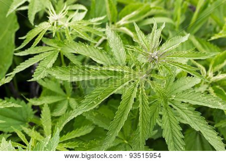 Hemp Plant Growing Wild