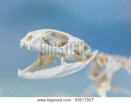 Skeleton Of A Large Lizard