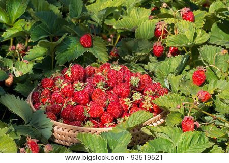 gathered strawberries in the garden
