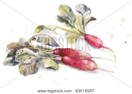Vector Watercolor Garden Elongate Radishes With Leaves