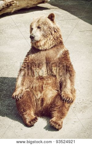 Sitting Young Brown Bear (ursus Arctos Arctos)