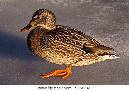 Duck Walk