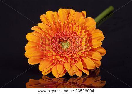 Single Orange Gerbera Isolated On Black Background