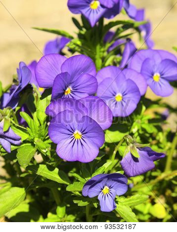 Flowers of pansy, green grass and sun