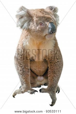Koala isolated