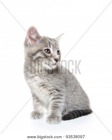 Cute Gray Tabby Kitten On White