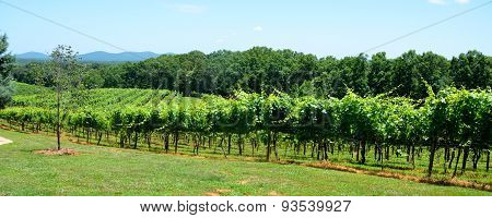 Vineyards of North Georgia, USA