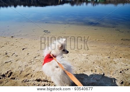 White Pomeranian Dog In Red Sweater On A Leash Looking Away On The Beach River