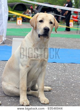 The Yellow Labrador Puppy At Dog Show