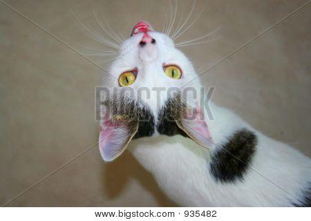 Loud Mouth Cat