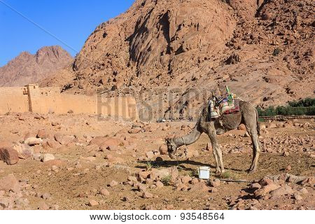 Camel at Mount Moses