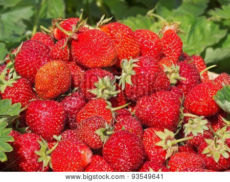 collected strawberries in the garden