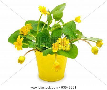Yellow Wild Marsh Marigold Isolated On White
