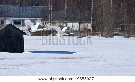 A couple of whooper swan above a snowy meadow.