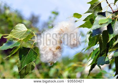 Poplar Fluff In The Twig Among Green Leaves
