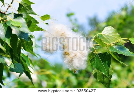 Poplar Fluff In Twig Among Green Leaves