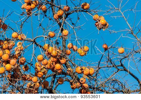 Persimmon fruits on the tree