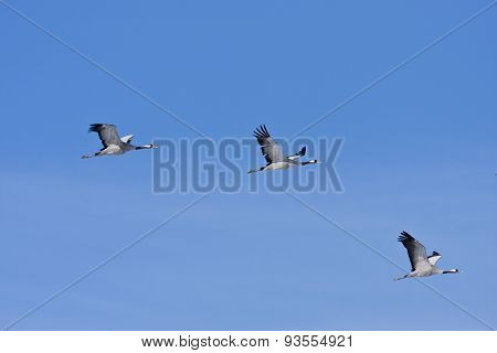 A group, flock of common crane in the sky.