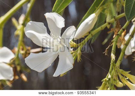 White Flower Nerium Oleander