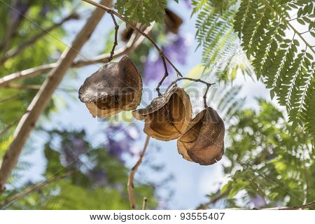 Jacaranda Tree Pods, Seeds
