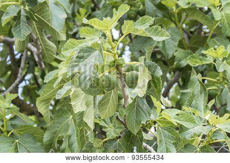 Fig Tree, Leafs, Unripe Figs